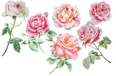 Roses. Watercolor hand drawing. by rednex on @creativemarket