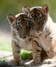 <3 Tiger Cubs - how beautiful they are