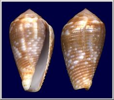 Conus catus   Hwass in Bruguière, 1792    Hanza, Okinawa, Japan (26 mm.)