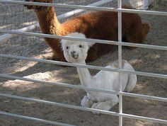 Baby Llama with a strange little face! he is so cute.