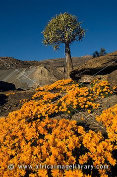 Quiver tree, Aloe dichotoma, and flowering daisies in spring, Nababeep, Namaqualand, South Africa Move In Silence, Finding God, Nature Tree, Quiver, Daisies, Aloe, Wild Flowers, South Africa, Grass
