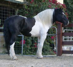 """""""Sleepy Steamer"""" - Another Tobiano Spotted Draft Stallion"""