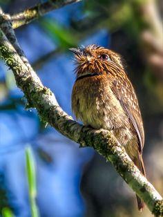 Foto barbudo-rajado (Malacoptila striata) por José Kachimareck