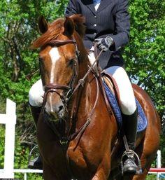 chestnut english equestrian