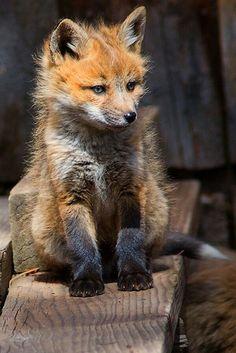 Jeune renard comme il est beau