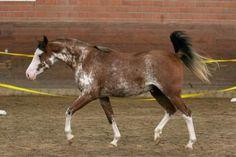 dominant white - Arabian stallion Rhevelation