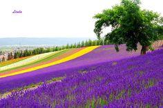 Lavender farm.