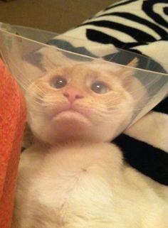 Top 14 des chats avec des collerettes qui ont l'air bien cons, le summum du chiant