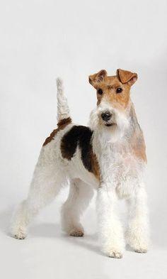 Wheaten Terrier, Terriers, Perro Fox Terrier, Wirehaired Fox Terrier, Wire Fox Terrier, Lakeland Terrier, Border Terrier, Animal Drawings, Drawing Animals