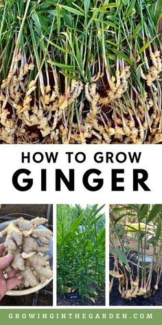 How to Grow Ginger: 8 Tips for Growing Ginger - Growing In The Garden