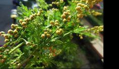 Φυτό σκοτώνει το 98% των καρκινικών κυττάρων μέσα σε 16 ώρες!! Δεν το πιστεύουν οι επιστήμονες!!!