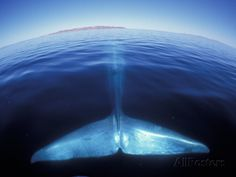 Most of Blue Whale Under Water; Only the Tail is Visible--Baja, California, USA. As One Can See, the Earth/Sea is Curved/Rounded; Really Awesome. (Photographic Print at AllPosters.com).