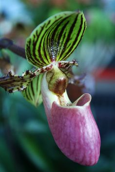 Take a look at the vibrant Paphiopedilum Jogjae, named after the Javan city of Jogjakarta (Yogyakarta)