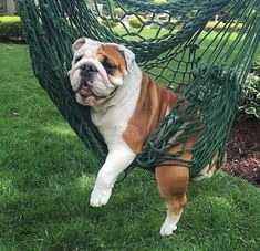 Animals And Pets, Baby Animals, Funny Animals, Cute Animals, Fluffy Puppies, Cute Puppies, Cute Dogs, English Bulldog Funny, English Bulldog Puppies