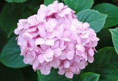 hydrangea-pink_110630-thumb-new