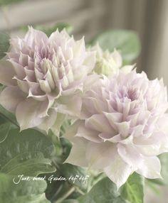 <i>Clematis 'Belle of Walking'</i><BR><BR>クレマチス<BR>『ベル・オブ・ウォーキング』   Flower Species,クレマチス     Junk sweet Garden tef*tef* ガーデニング雑貨・花苗