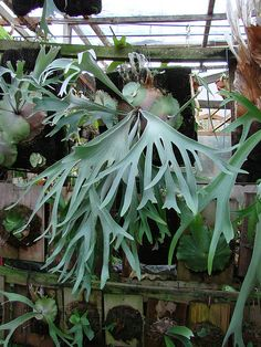 Platycerium willinckii Celso