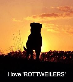 Yes or No...Do you love Rottweilers?