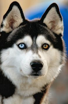 Amazing Husky eyes