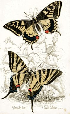 Swallowtail Butterflies (1855) | Flickr - Photo Sharing!