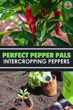 Improve the taste of your produce and lessen pests by choosing the right pepper companion plants. Our guide shares some of our best tips! Pepper Companion Plants, Pepper Plants, Companion Planting, Vegetable Gardening, Gardening Tips, Growing Peppers, Basil Plant, Beneficial Insects, Tomato Plants