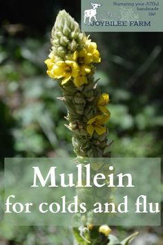Identifying the Medicinal plant – Mullein Mullein (Verbascum thapsus) is a medicinal plant of fields and waste places.  Its easy to recognize by its soft, fuzzy leaves, and tall flower spike.  This medicinal plant is a biennial and grows a soft rosette of succulent, fuzzy leaves in its first year.  In its second year, or …