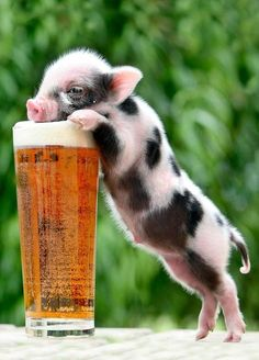 Baby Piglets, Mini Pigs, Photo Competition, Dogs, Cute, Animaux, Mini Teacup Pigs, Pet Dogs, Kawaii