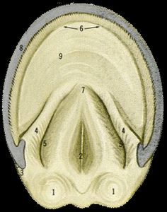 1. Bulbs  2. Central Sulcus of Frog  3. Angle of Wall  4. Bars  5. Collateral Sulcus  6. White Line