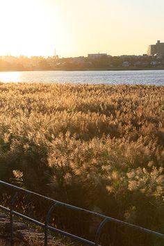 Reeds of sunset