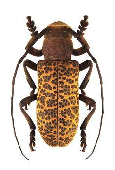 Paranaleptes reticulata