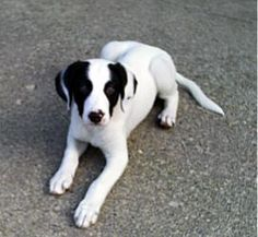 Pretty is an adoptable Border Collie Dog in Fowlerville, MI. This pet WILL NOT be shown before our Showing Event, so please do not inquire if the animal can be shown before Saturday, phone calls will ...