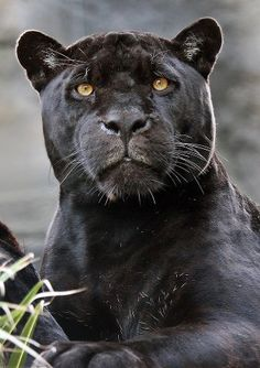 A black panther is not a species in its own right; the name black panther is an umbrella term that refers to any big cat with a black coat. Small Wild Cats, Big Cats, Cool Cats, Cats And Kittens, Black Animals, Cute Animals, Puma Animal Black, Black Cats, Wild Animals