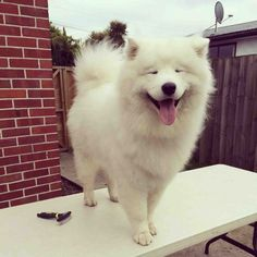 And this girl who is VERY proud of the fluff volume she has achieved. | 19 Samoyeds Who Will Warm Your Freezing Cold Wintery Heart