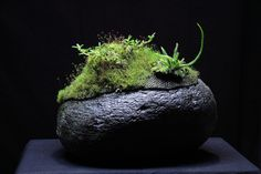 Hygrolon stone - Mediocalcar decoratum by Mikaels orchids, via Flickr