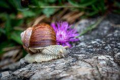 Snail moving up the Nebelhorn fast