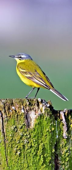 Picture of a western yellow wagtail bird. #birds #western #yellow #wagtail #bird