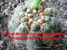 La página más grande de Cactus y Crasas en el mundo: CUIDADOS DE LOS CACTUS Cómo curar los cactus e identificar plagas fácilmente !!!!! Clickeá ! Cactus Y Suculentas, Succulents, Plants, Grande, Blog, Gardens, Shopping, World, Cacti Garden