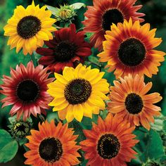 Large Flowered Mix Sunflower Seeds. Beautiful autumn flowers for Thanksgiving arrangements. So easy to grow drought tolerent only needing full sun. Plant now for armloads of beautiful fall flowers.