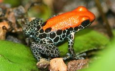 Red-backed poison dart frog