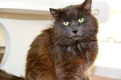 Grayson is an adoptable Domestic Medium Hair Cat in Bradenton, FL.  ...