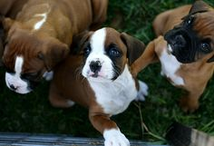 Beautiful boxer PUPPIES!!!!!