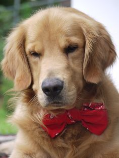 Handsome Golden Retriever with bow tie