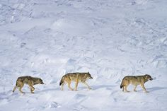 Only Three Wolves Are Left in This National Park | TakePart
