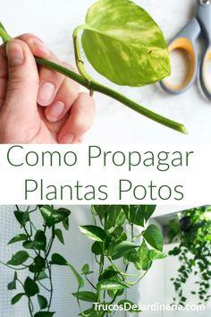 How to Propagate Potos Plants Succulents Garden, Garden Plants, Indoor Plants, House Plants, Planting Flowers, Indoor Water Garden, Eco Garden, Herbs Indoors, Green Life