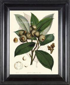 BOTANICAL PRINT Fitch 8x10 Botanical Art Print 20 by FleurDeNature, $10.00