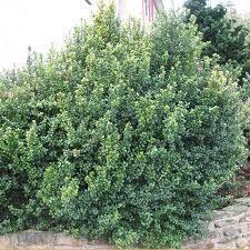 Myrsine africana - Google Search Hedging Plants, Shrubs, Small Trees, Myrtle, Perennials, Leaves, Gardening, Google, African