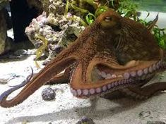 Image result for octopus on land Plural Of Octopus, Octopus Illustration, Octopuses, Image, Octopus