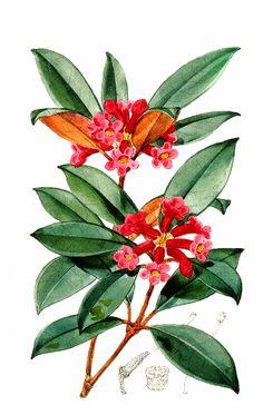 R. Malayanum, Walter Hood Fitch, 1873