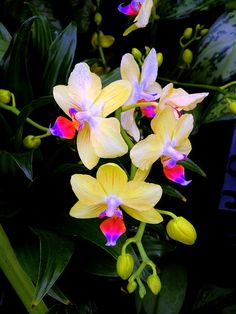 Gorgeous Orchids! Fallen Angels by Mindy Newman