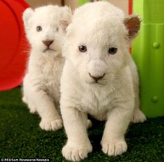 Rare breed: The cubs are two of only about 300 white lions in existence Cute Baby Animals, Animals And Pets, Wild Animals, Lion Cubs For Sale, Bear Cubs, Tiger Cubs, Grizzly Bears, Tiger Tiger, Bengal Tiger